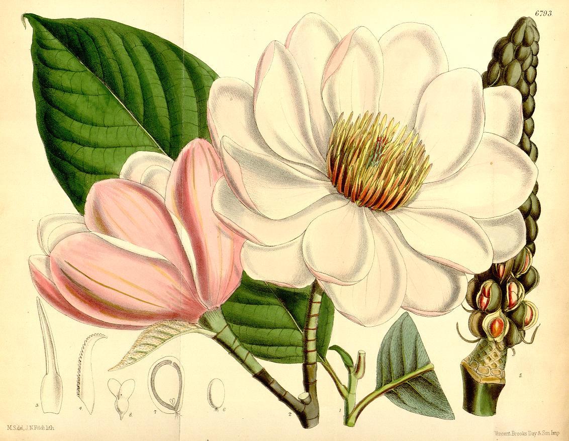 Curtis_s Botanical Magazine Image